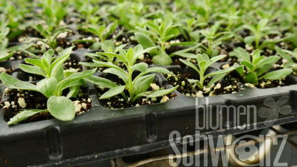 Calibrachoa Jungpflanzen