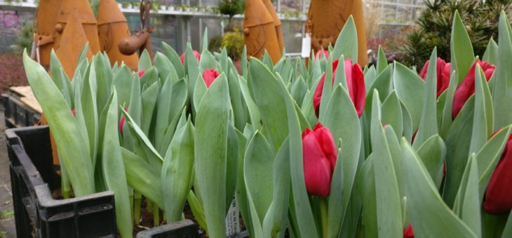 Tulpen – frisch geschnitten aus eigener Gärtnerei