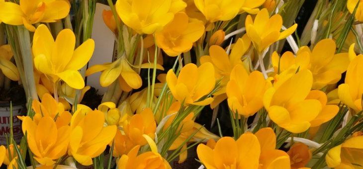 Frühlingsangebot: Krokus und Iris
