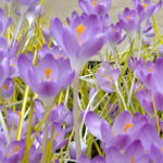 Crocus Barrs Purple, Krokus