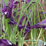 Iris retic. Purple Gem