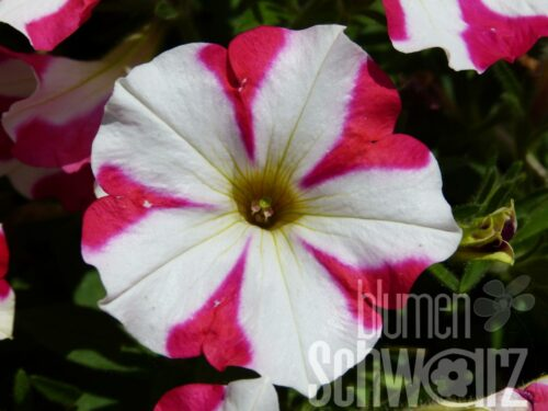 Petunia cultivars Queen of Heart