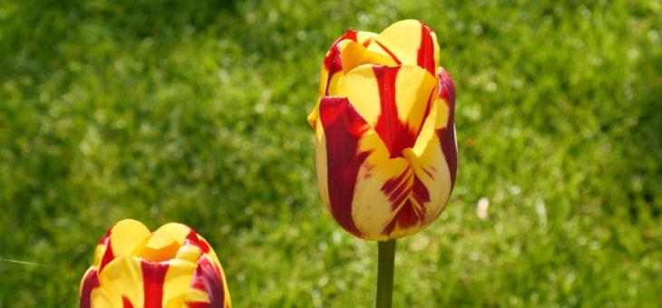 Keukenhof 2017 – Der Tulpenpark – Neue Sorten und Trends