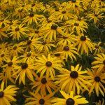 Rudbeckia Goldsturm - der Klassiker im Sonnenbeet