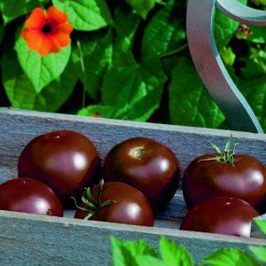 Schwarze Schokoladen-Tomate 'Kakao'  –  Veredelt