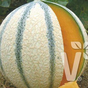 Zuckermelone 'Anasta' – Veredelt