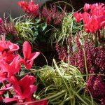 Carex Evergold mit Alpenveilchen