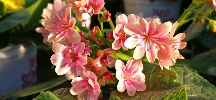 Porzellanblümchen – Lewisia