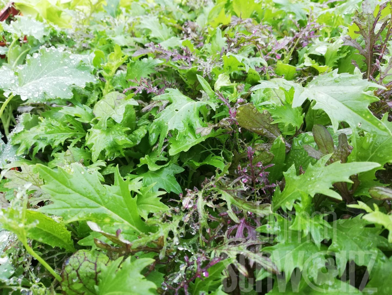 Asia Salat Mischung Brassica i.S.