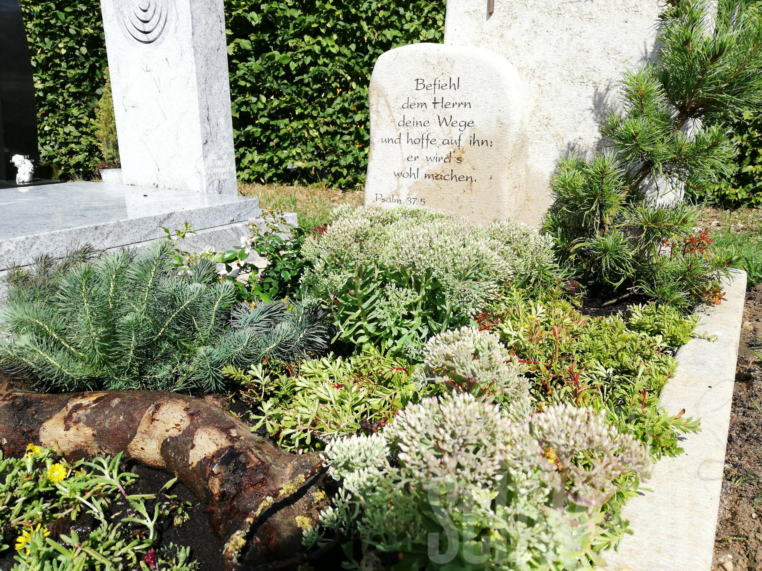 vollsonniges Grab - auf Sandboden - mit Rosen, verschiedenen Mauerpfeffer / Fetthehnen, Mittagsblumen und Kiefer