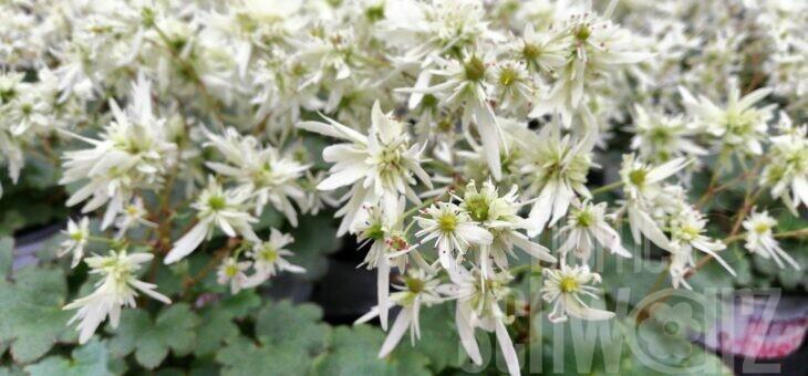 Oktobersteinbrech – das Blühtenwunder im Herbst