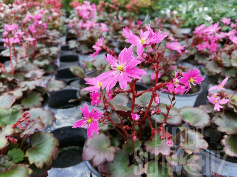 Oktobersteinbrech Saxifraga cortusifolia