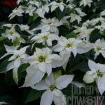 Euphorbia p. Princettia Pure White