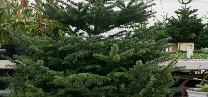 Einmal durch unser Weihnachtsstern und Weihnachtsbaumgewächshaus