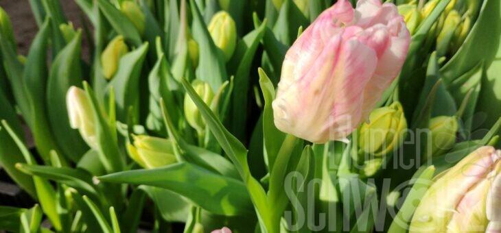 Tulpen aus Mittelfranken