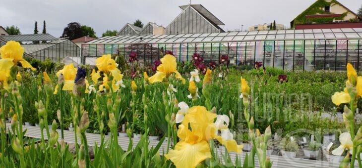 Momentan ist die Hauptblüte bei Iris / Schwertlilie